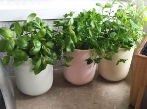 Indoor kitchen herbs