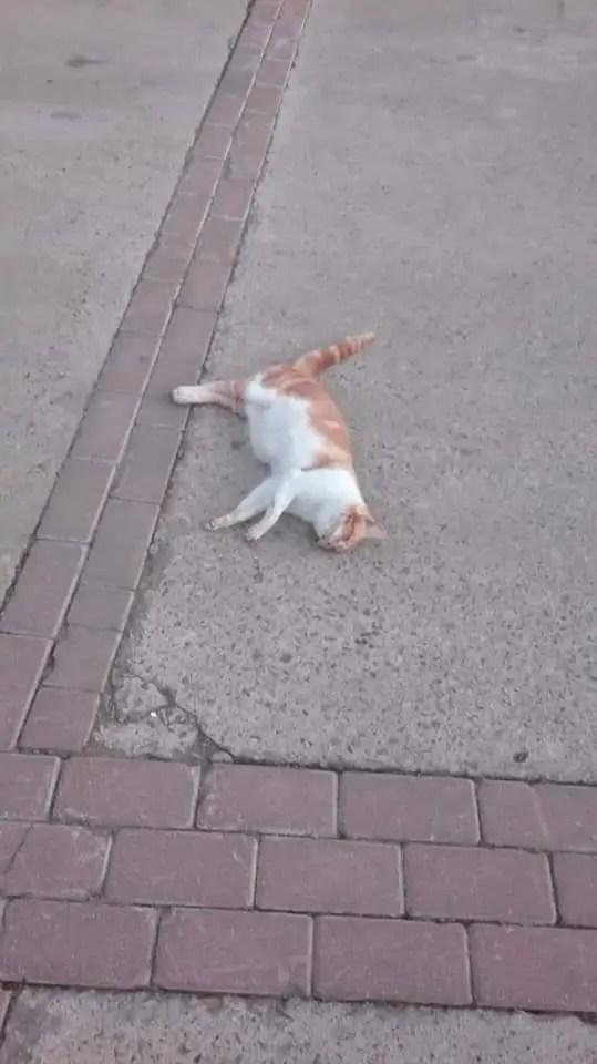 Aparecen gatos envenenados en Montehermoso