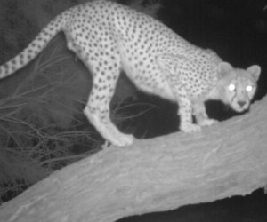 Algeria: The return of the Saharan cheetah to the Hoggar Mountains