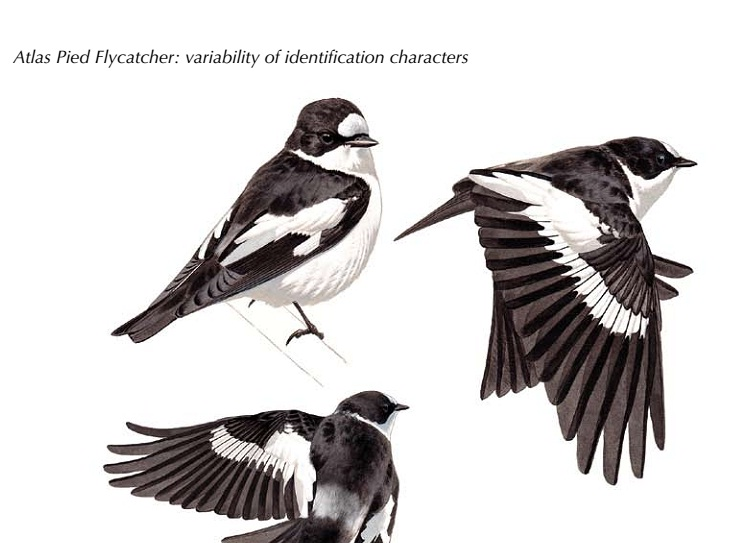 Atlas Pied Flycatcher: variability of identification