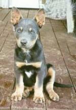 blue & tan kelpie pup