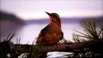 Birdy Branch Twin Peaks
