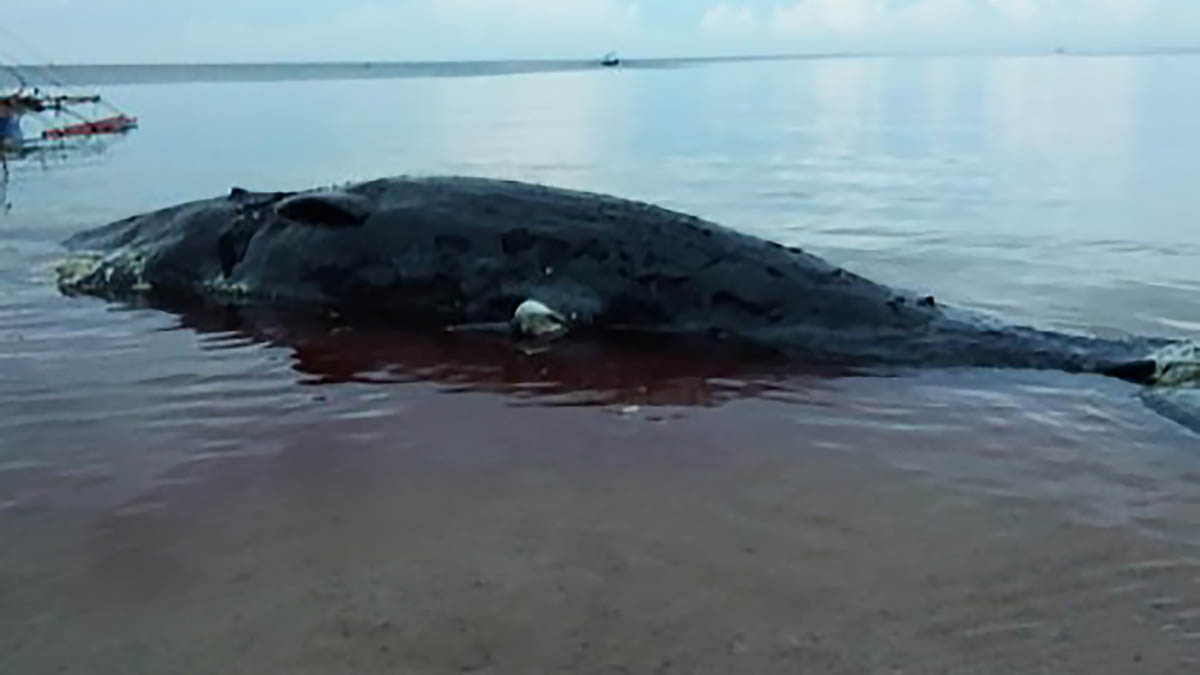 Dead sperm whale washed ashore in Sarangani