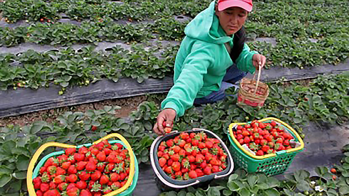 Strawberry picking completes Baguio tourists' experience