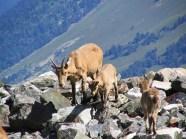 Caucasian goat Dombay Great Caucasus mountains North Caucasus