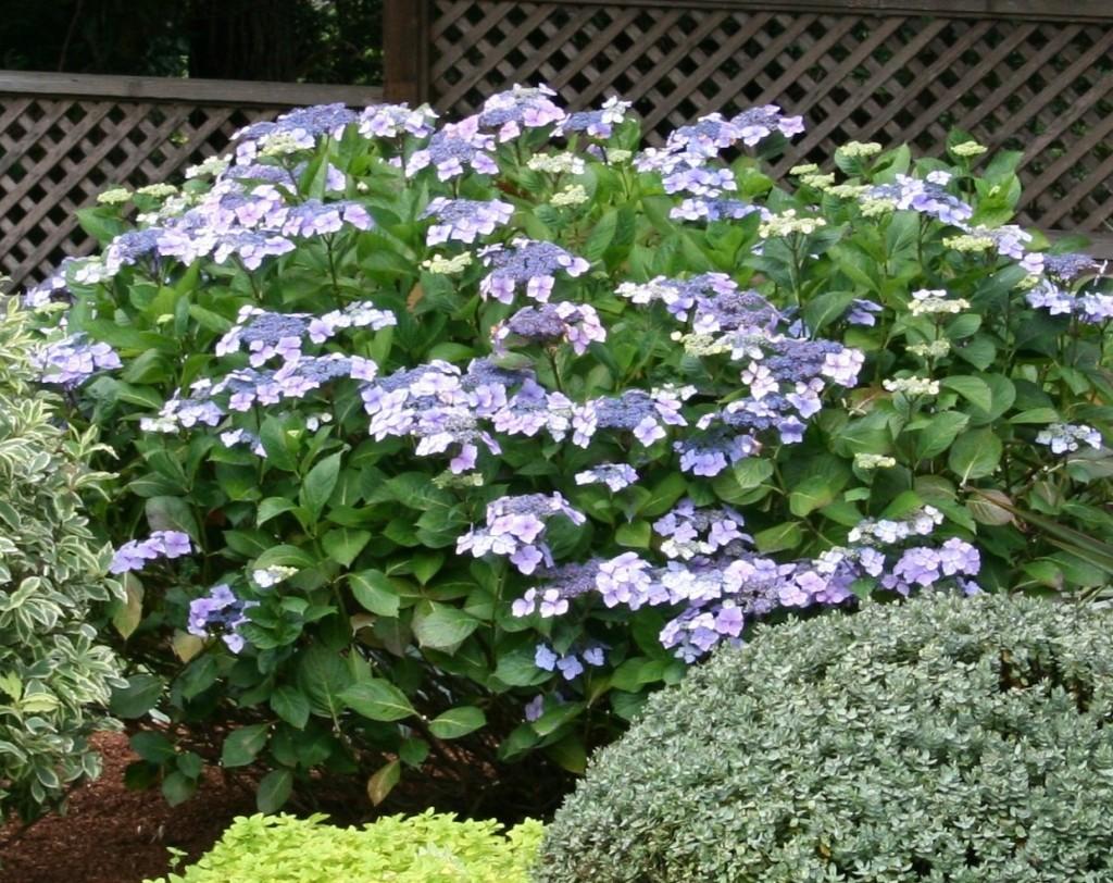 Shade Tolerant Flowering Shrubs Flowers Ideas For Review