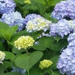 Help With Hydrangeas | 5 Tips for Growing Gorgeous Hydrangeas | This Old House