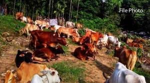 Meghalaya: BSF Seizes Huge Cattle at Indo-Bangladesh Border