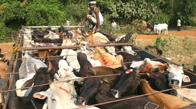 Border Security Force ( BSF ) seized a huge haul of cattle while being illegally transported by the cattle smugglers taking them to Bangladesh from India.