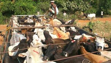 Photo of BSF apprehended 2 Cattle smuggler along with 3 trucks loaded with cattle