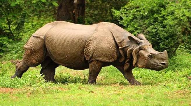 Assam: Poachers killed adult Rhino in Kaziranga National Park