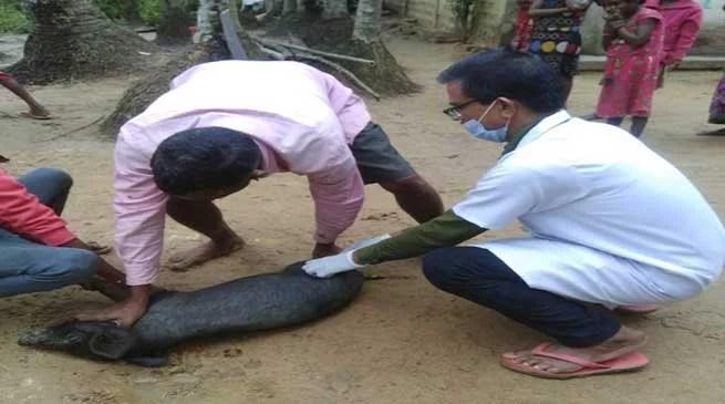 swine fever in Assam: Massive vaccination drive of pigs in Hailakandi