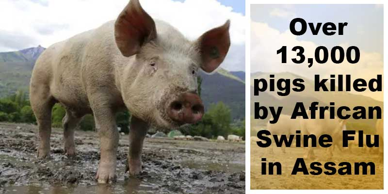 Assam: Over 13,000 pigs killed by African Swine Flu