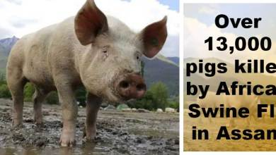 Assam:Over 13,000 pigs killed by African Swine Flu