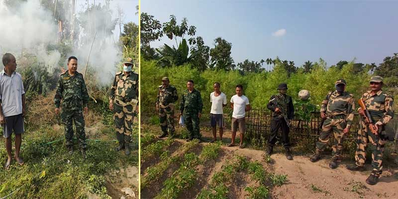 Meghalaya: BSF, Policedestroyillegal cultivation of Hemp plants in Tura