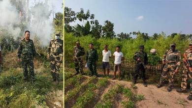 Meghalaya: BSF, Police destroy illegal cultivation of Hemp plants in Tura