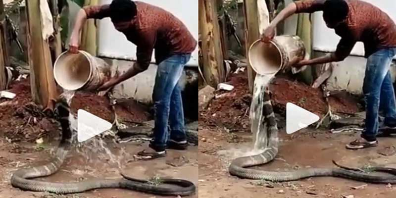 Watch viral video of a man bathing and feeding snake