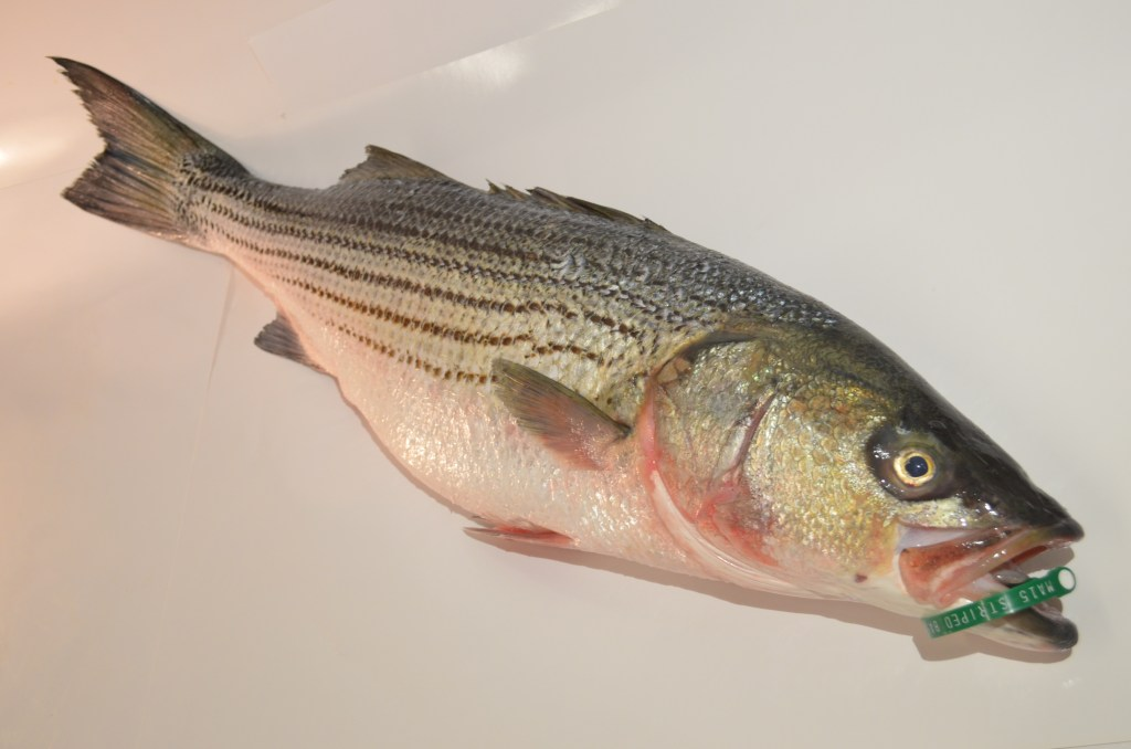 Bass, Wild Striped Bass