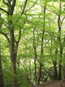 Beech trees, Calfhall Wood, Richmond, Yorkshire