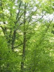 Beech trees, Billy Bank Wood, Richmond, Yorkshire