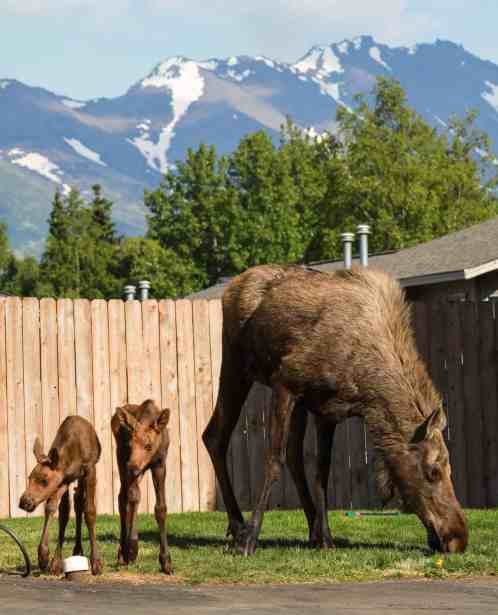 Moose family