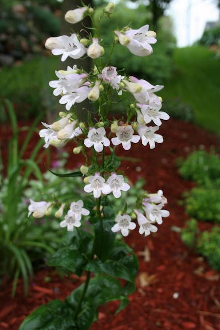 Plant Profile: Penstemon