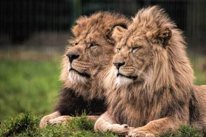 Wallace and Khari the African Lions