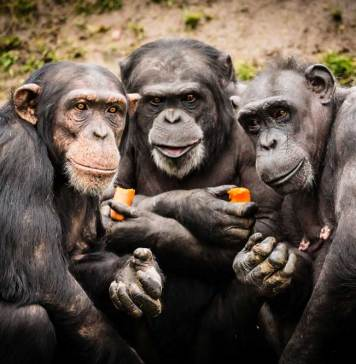 Chimps Plotting