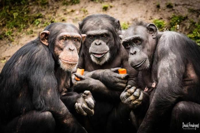 Chimps Plotting
