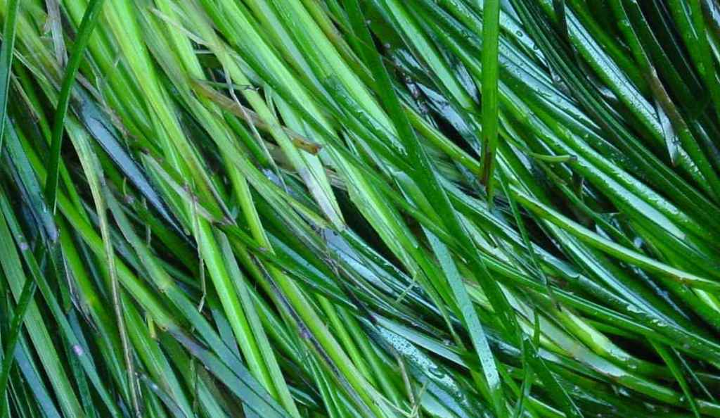 Long, wet, and green sea grass close up.