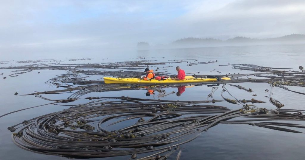 Two people in orange life jackets are sitting in a yellow kayak on the ocean surrounded by tangles of kelp that are floating on top of the water. The sky is blue with grey clouds.