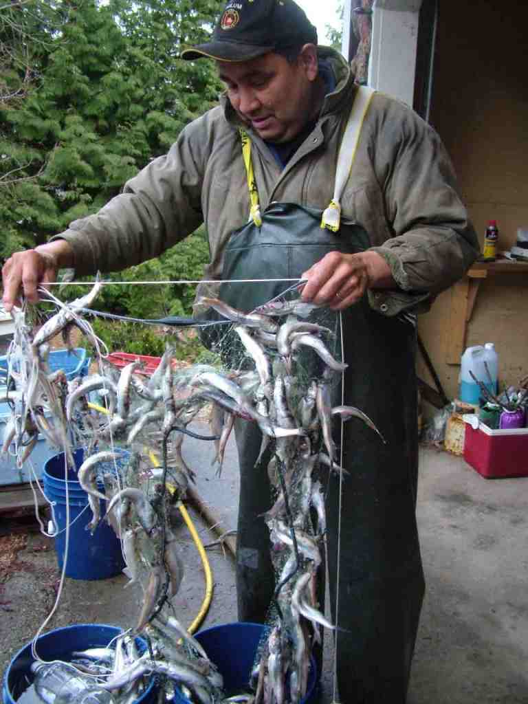 A man in a rubber apron standing outdoors and holding a net with many Eulachon fish hanging from it. There are evergreens in the background.