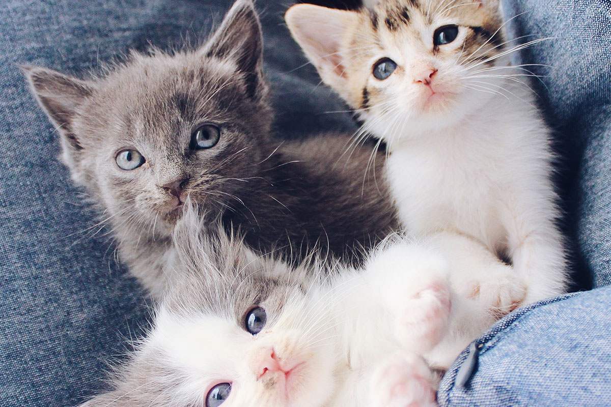 Upcoming Cat And Kitten Events In Northern Virginia