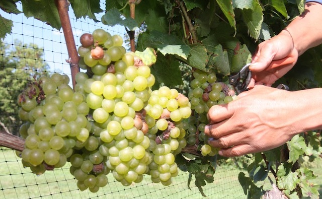 north fork vineyard grape harvest wine