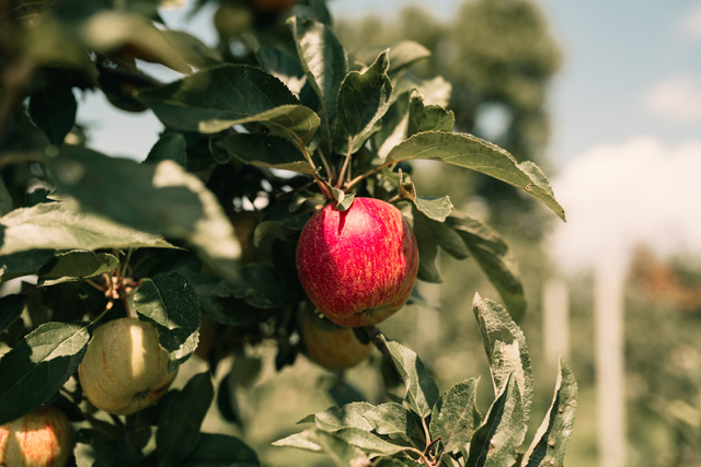 Wickham's Fruit Farm
