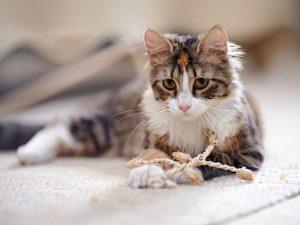 super fluffy cat breeds