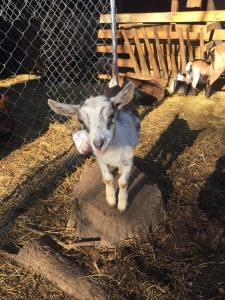 Tammy Sue's Critters - goat