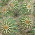 Cacti Abstract