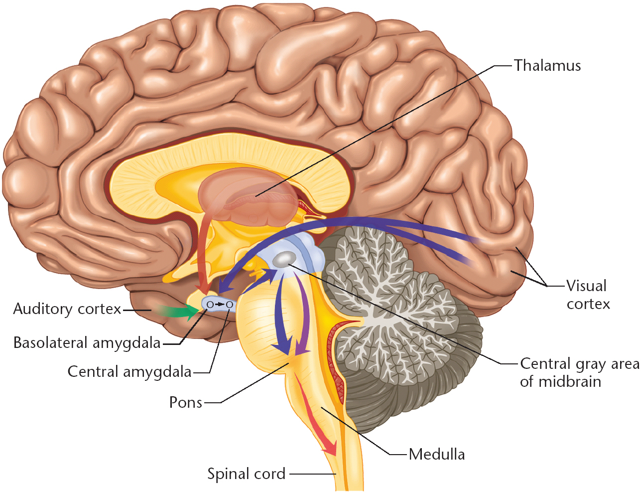 Tickling The Amygdala The Overthinker