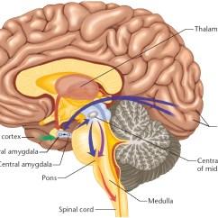 Reticular Formation Diagram Rockford Fosgate Speaker Wiring Tickling The Amygdala  Overthinker