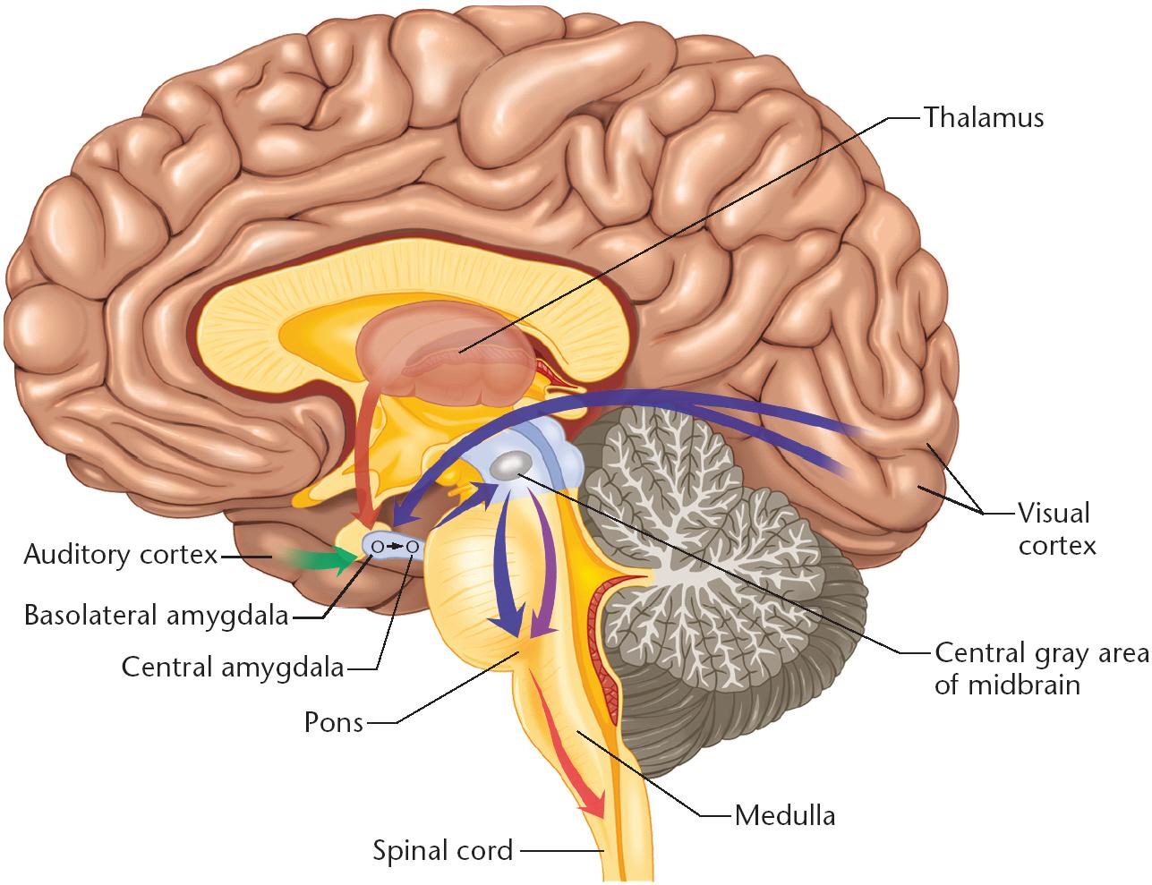 brain diagram thalamus taco circulator pump wiring tickling the amygdala  overthinker