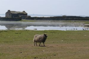 Sheep on North Ronaldsay