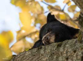 HELP TO SUPPORT NORTH SHORE BLACK BEARS!