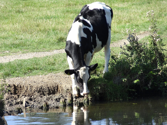 Cow drinking from stream.