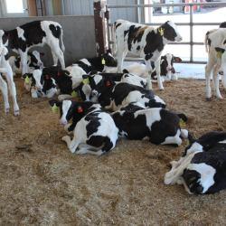 Calves in a pen.