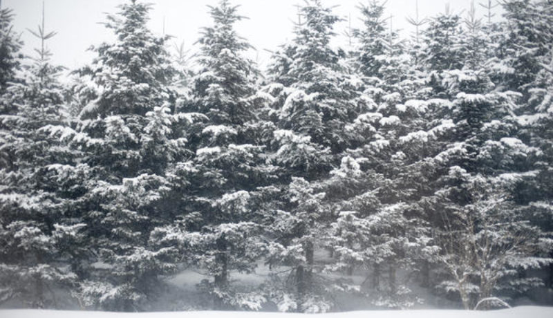 evergreen forest covered in snow