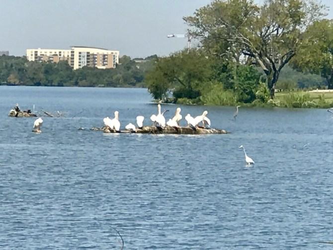 White Rock Lake: Birds on the lake
