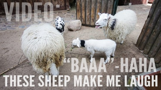 "Video: ""Baaa""-haha - These sheep make me laugh"