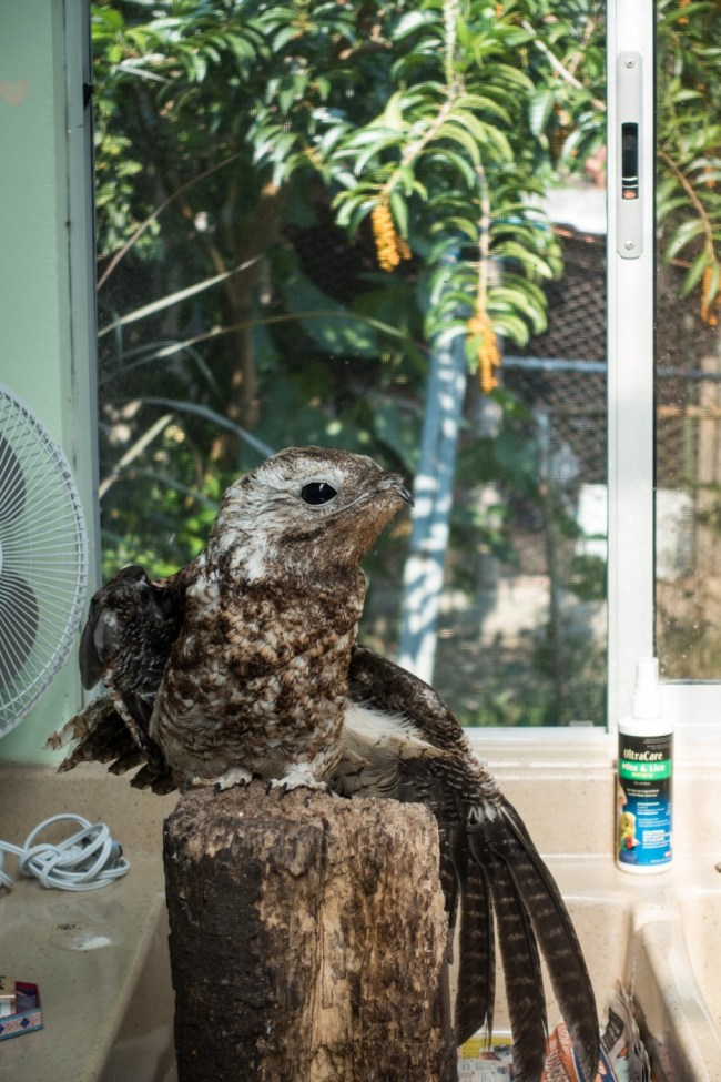 a potoo stretching his wings at the Toucan Rescue Ranch; this guy can disguise himself as a tree!