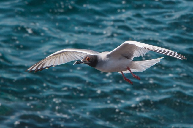 Best Camera Gear for the Galápagos Islands - Canon EOS 700D + 18-135mm STM, Swallow-tailed gull, North Seymour